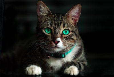 Frontline Combo Katze gegen Flöhe und Zecken